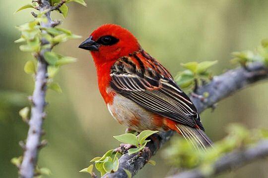 Oiseau rouge for Oiseau vert et rouge