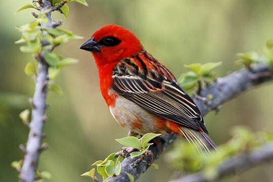 Oiseau rouge for Photo oiseau